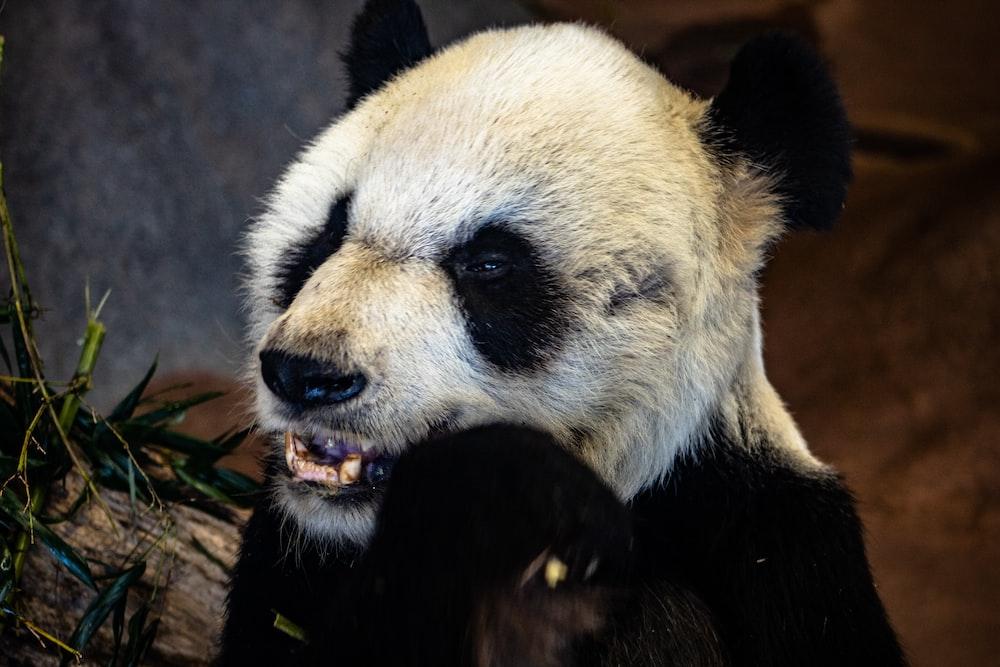 smiling panda