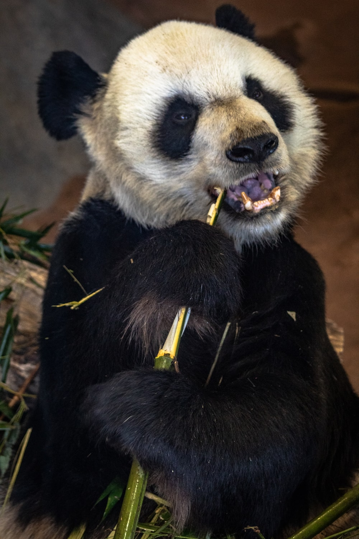 white and black polar bear eating bamboo