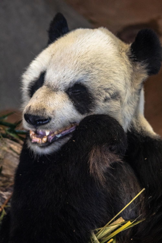 white panda holding green bamboo
