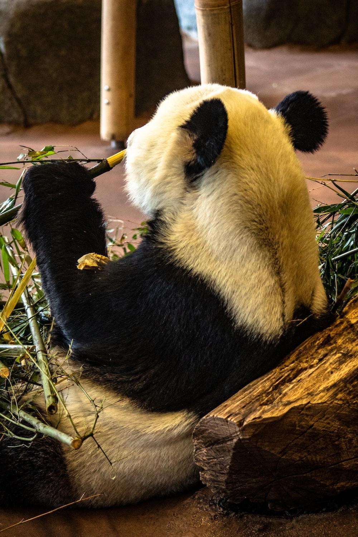 white and black panda bear eating bamboo