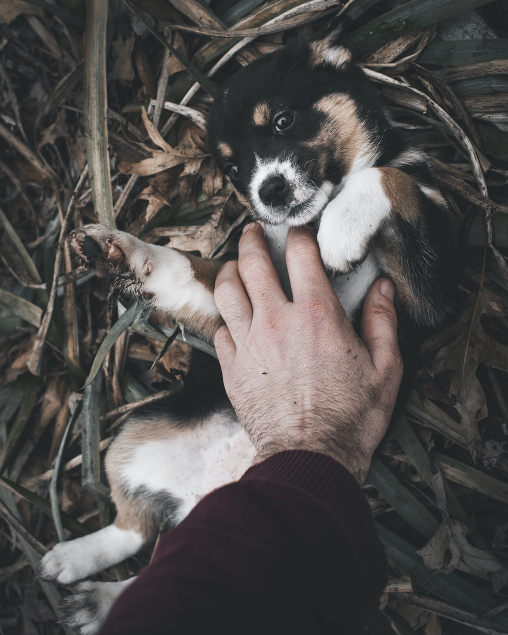 black and white pembroke welsh corgi puppy