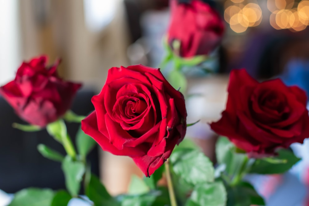 four red roses photo
