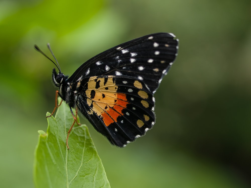 black and orange butterfly perched on green leaf during daytime