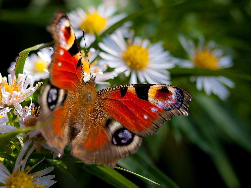 orange butterfly on white daisies