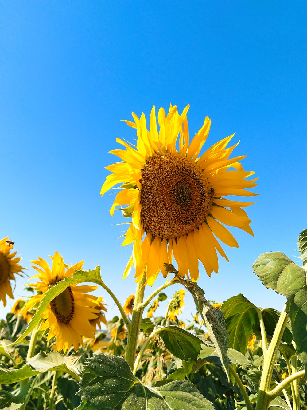 close up photo of Sunflowers