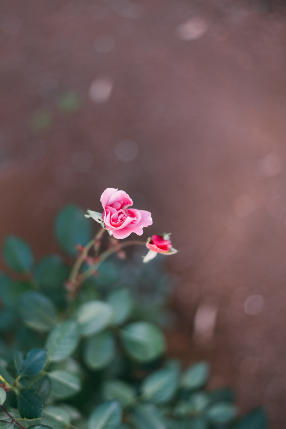pink and white flower in selective-focus photography