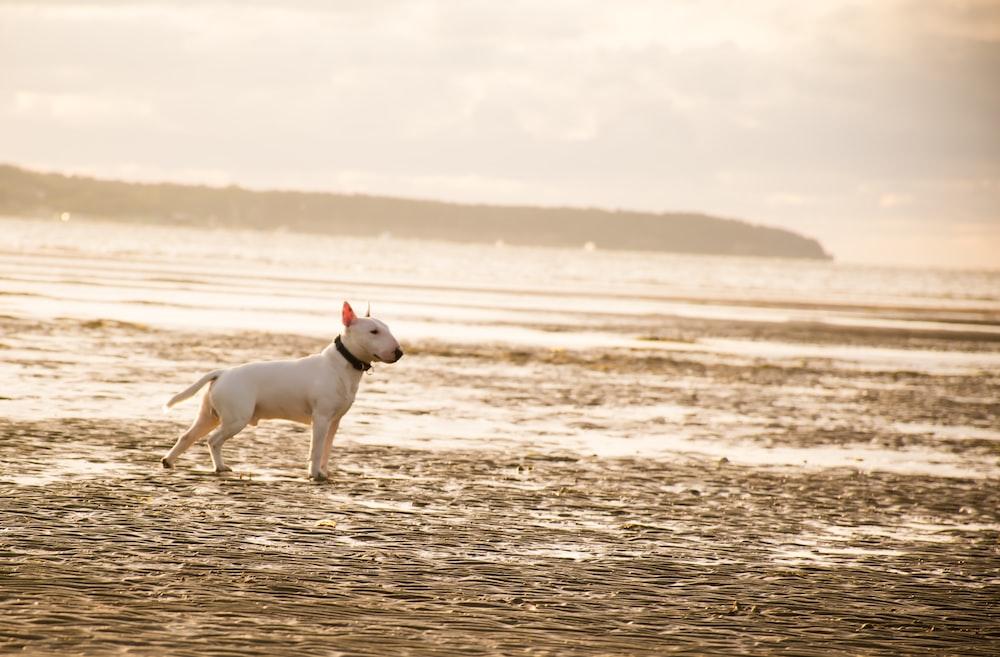 white american bull terrier standing on beach