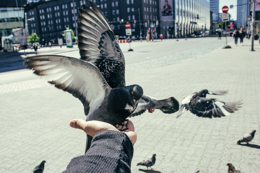 grey pigeon lands on person's hand for food at the park