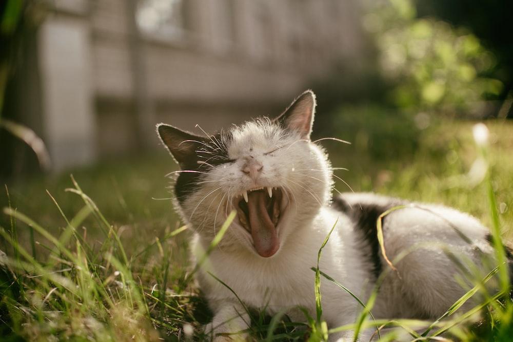 yawning cat on green grass