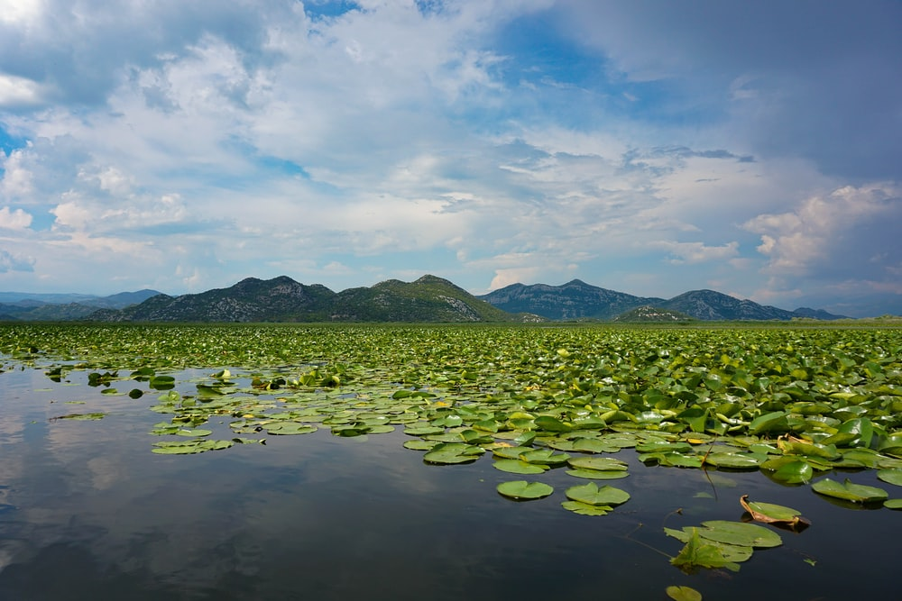 green lily pads near mountain