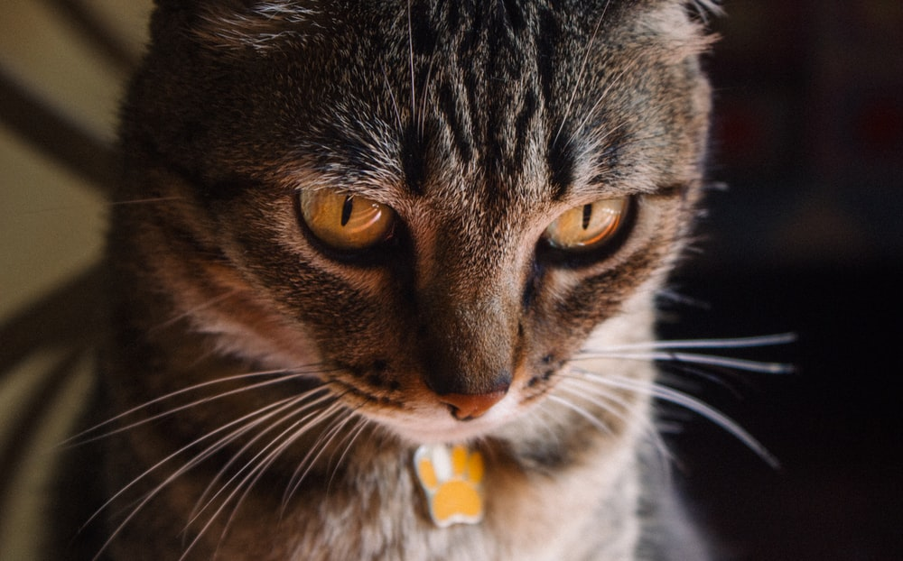 brown tabby cat looking down