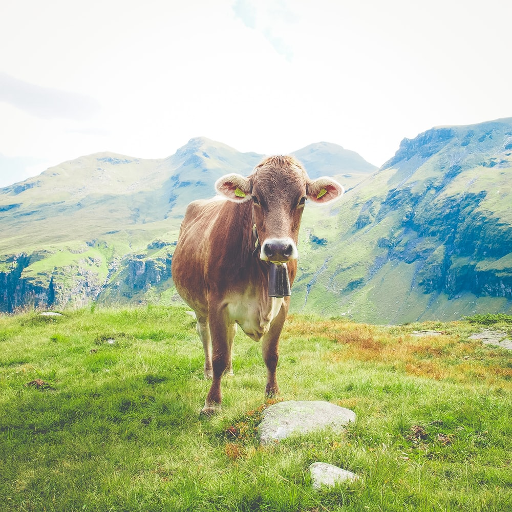 brown cattle near mountains