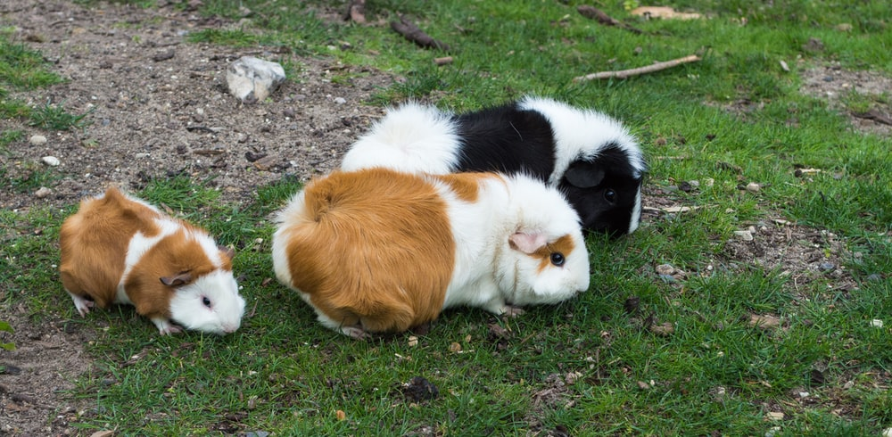 three guinea pigs on grass field