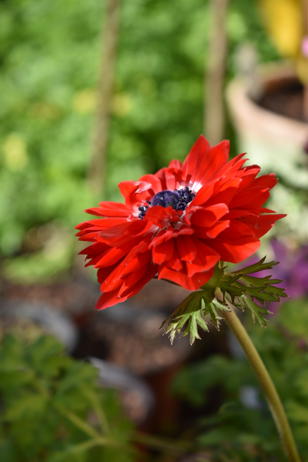 red anemone flower in bloom during daytime