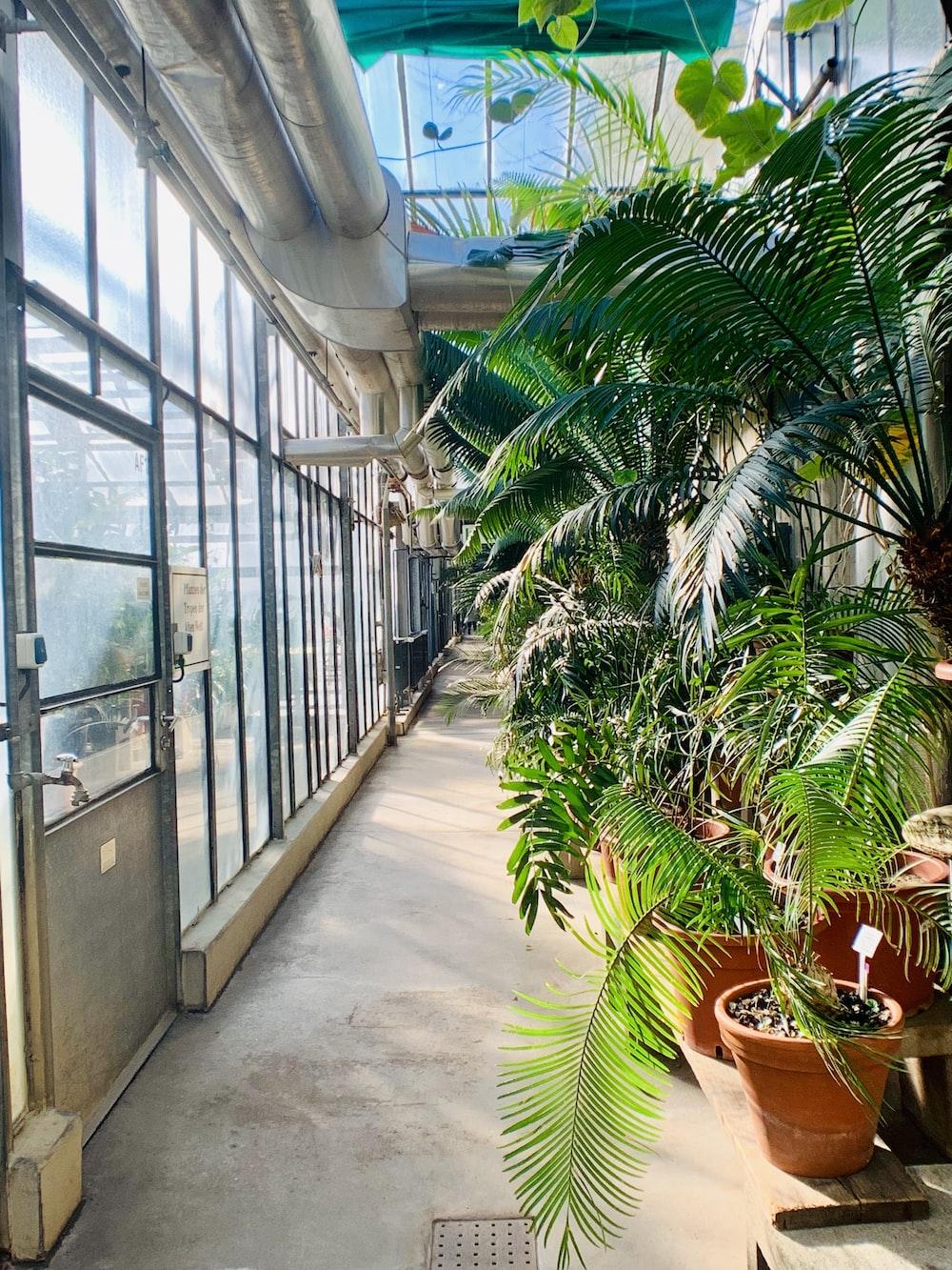green majesty palm in pot inside building