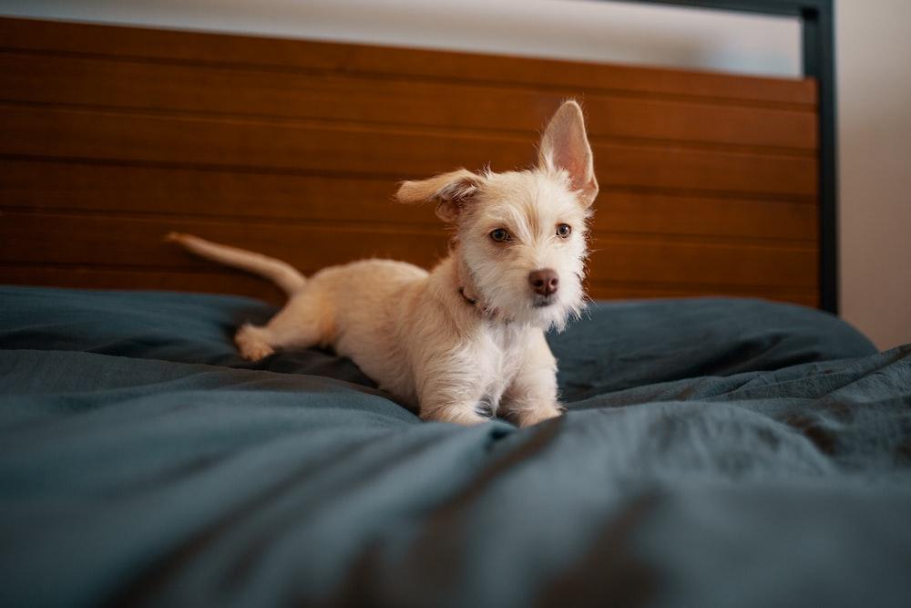 white double-coated dog on bed