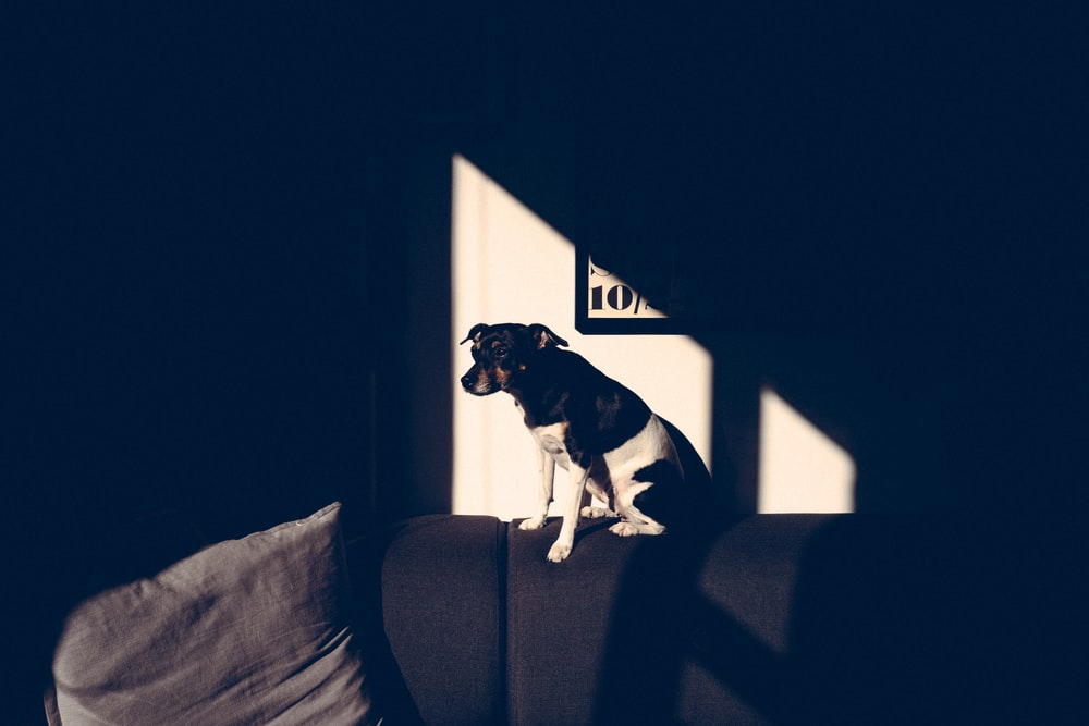 black black and white dog sitting on sofa during daytime