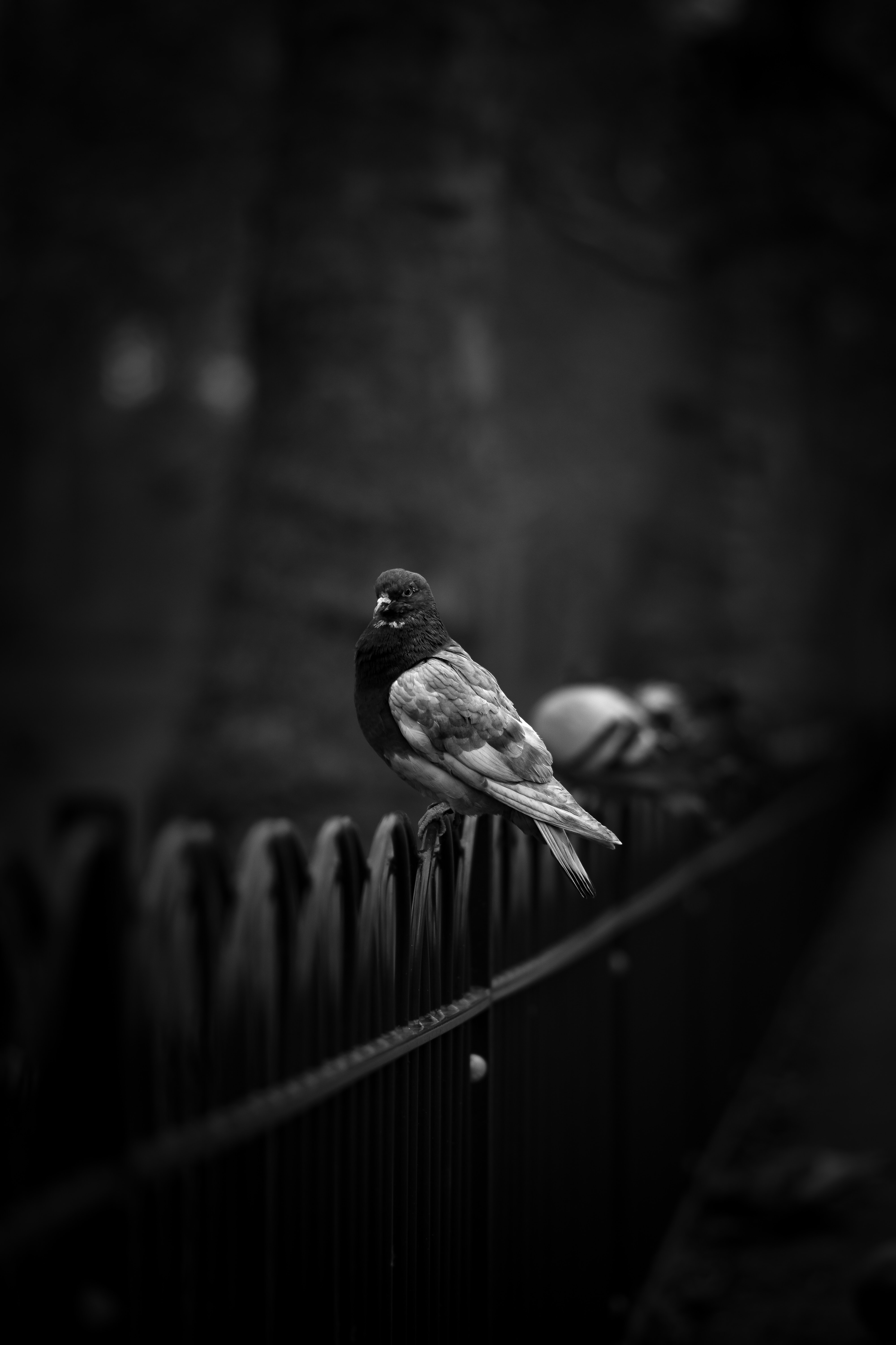 grayscale photo of pigeon on black fence