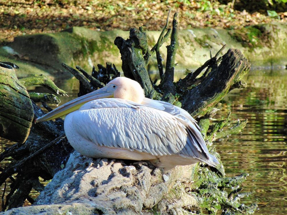 white pelican perching on stone