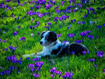 short-coated white and black puppy lying on green and purple flower field