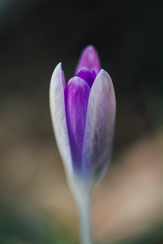 purple tulip flower bud