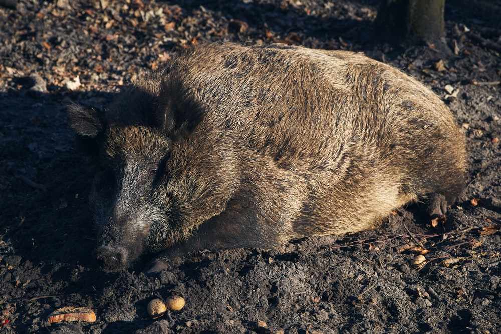 brown wild boar