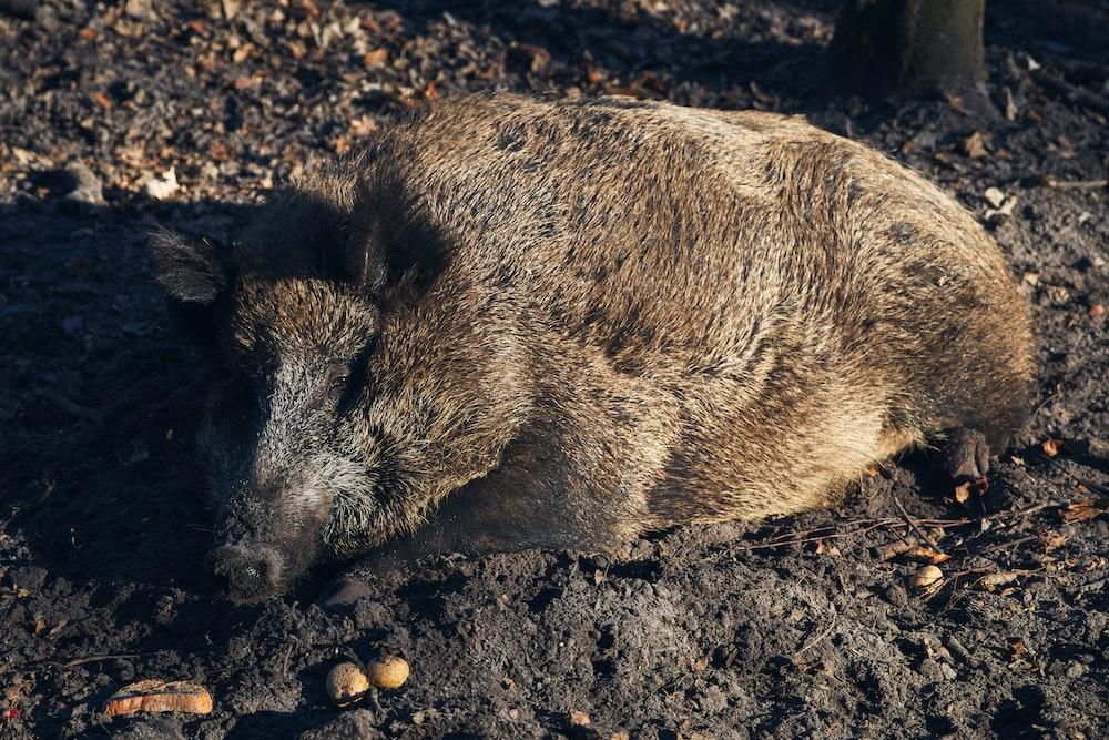 brown wild boar