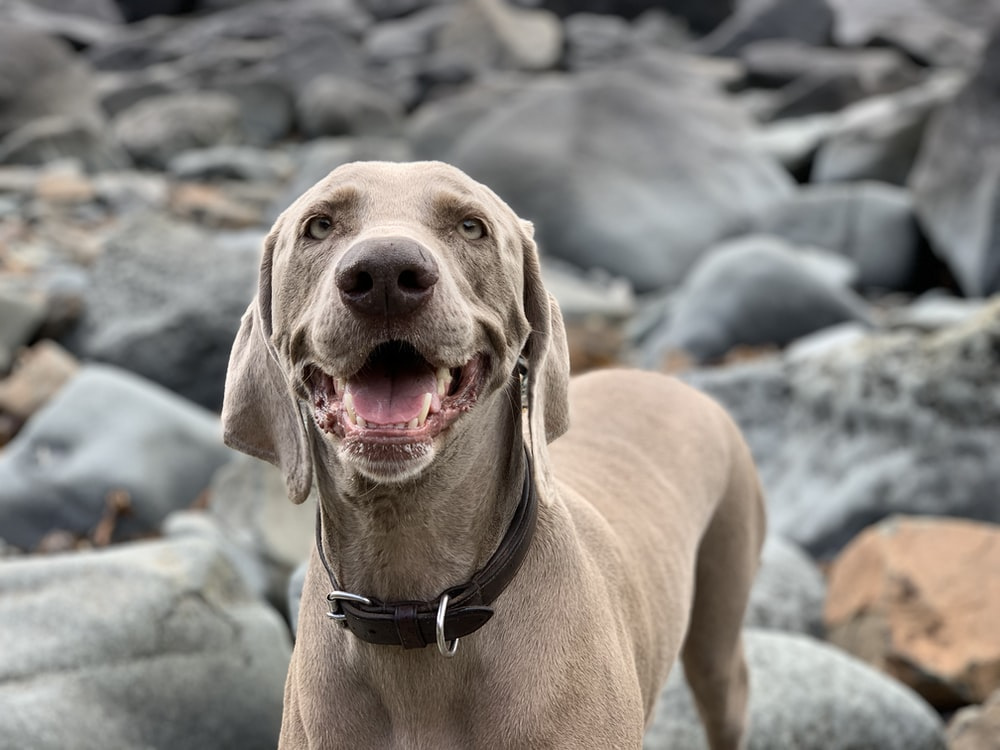 adult short-coated tan dog standing on gray rocks