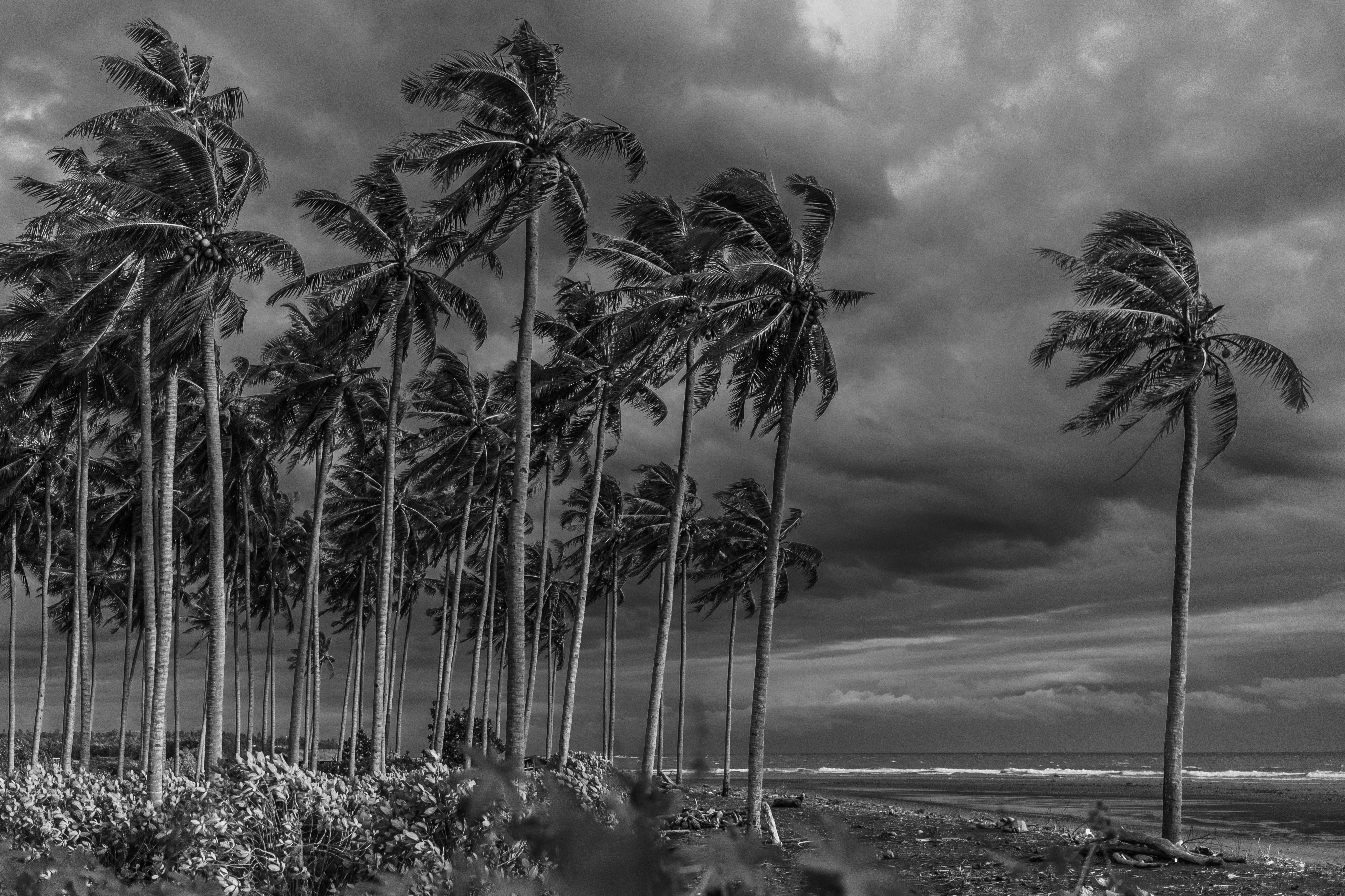 grayscale photography of coconut trees