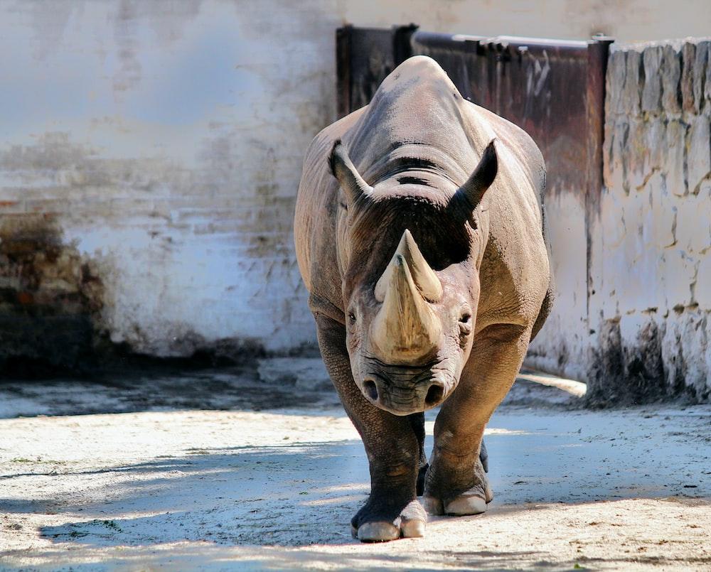 rhinoceros walking near white wall
