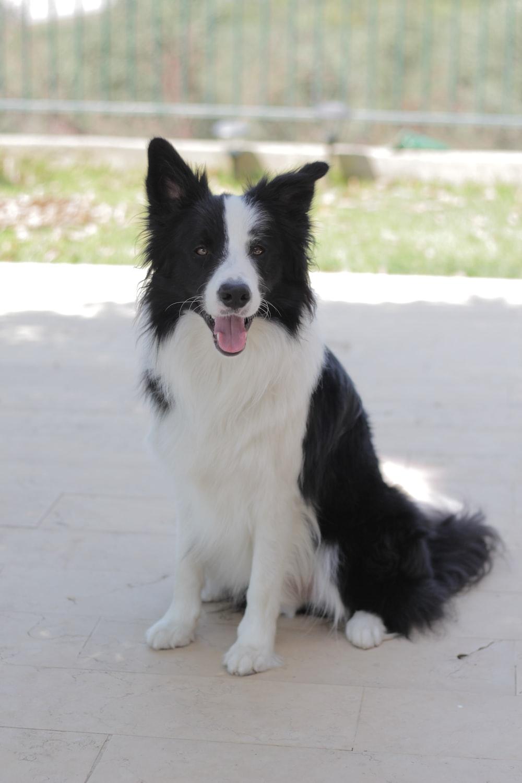 short-coated white and black dog sitting on floor