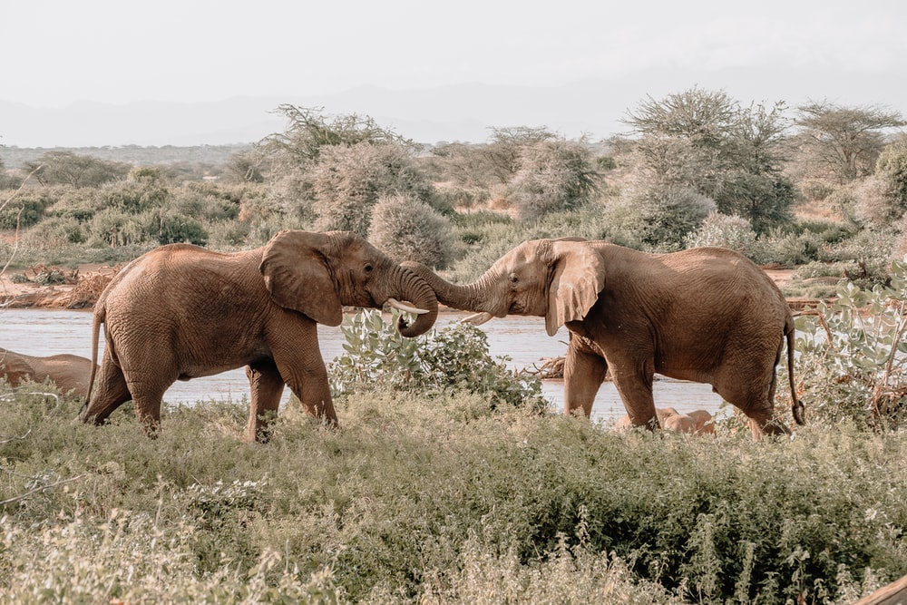 tow brown elephants on pasture during daytime