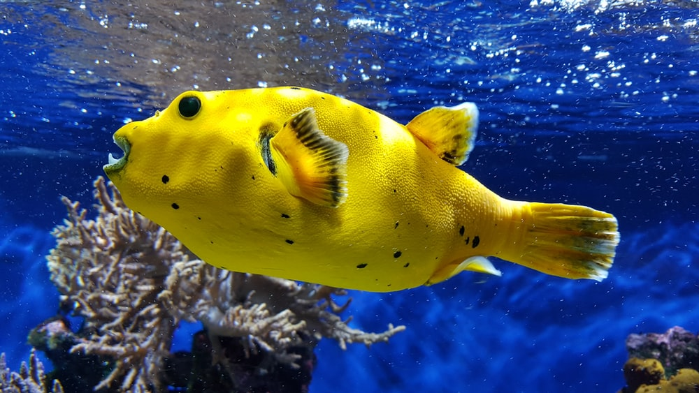 undewater photography of yellow fish