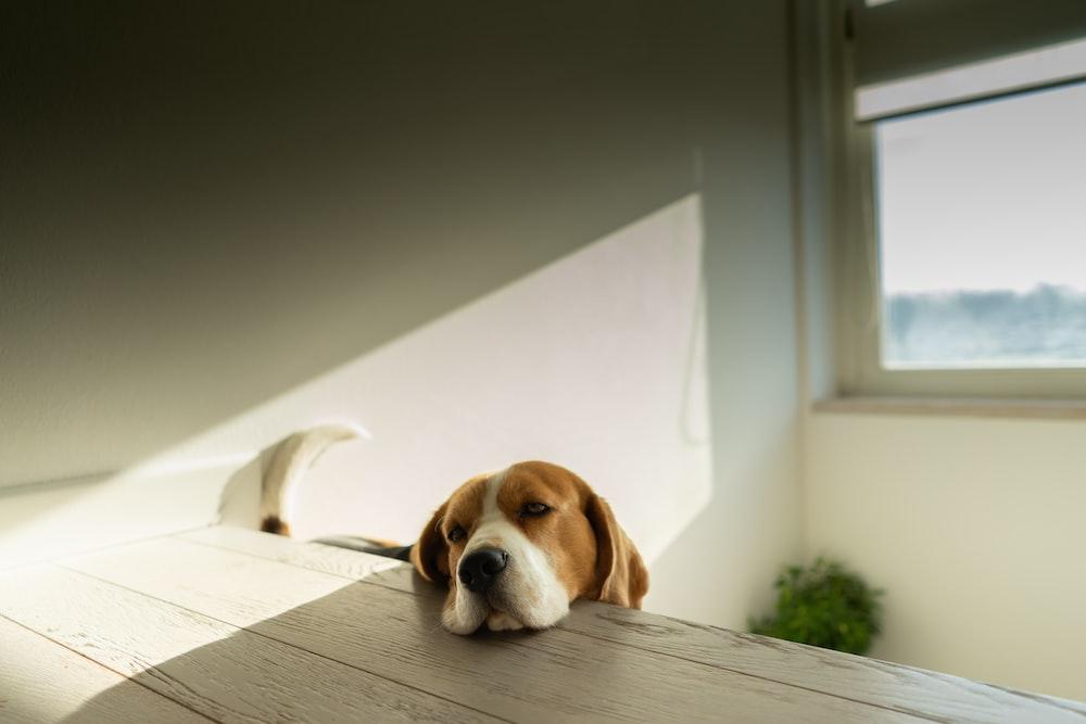 brown dog on table