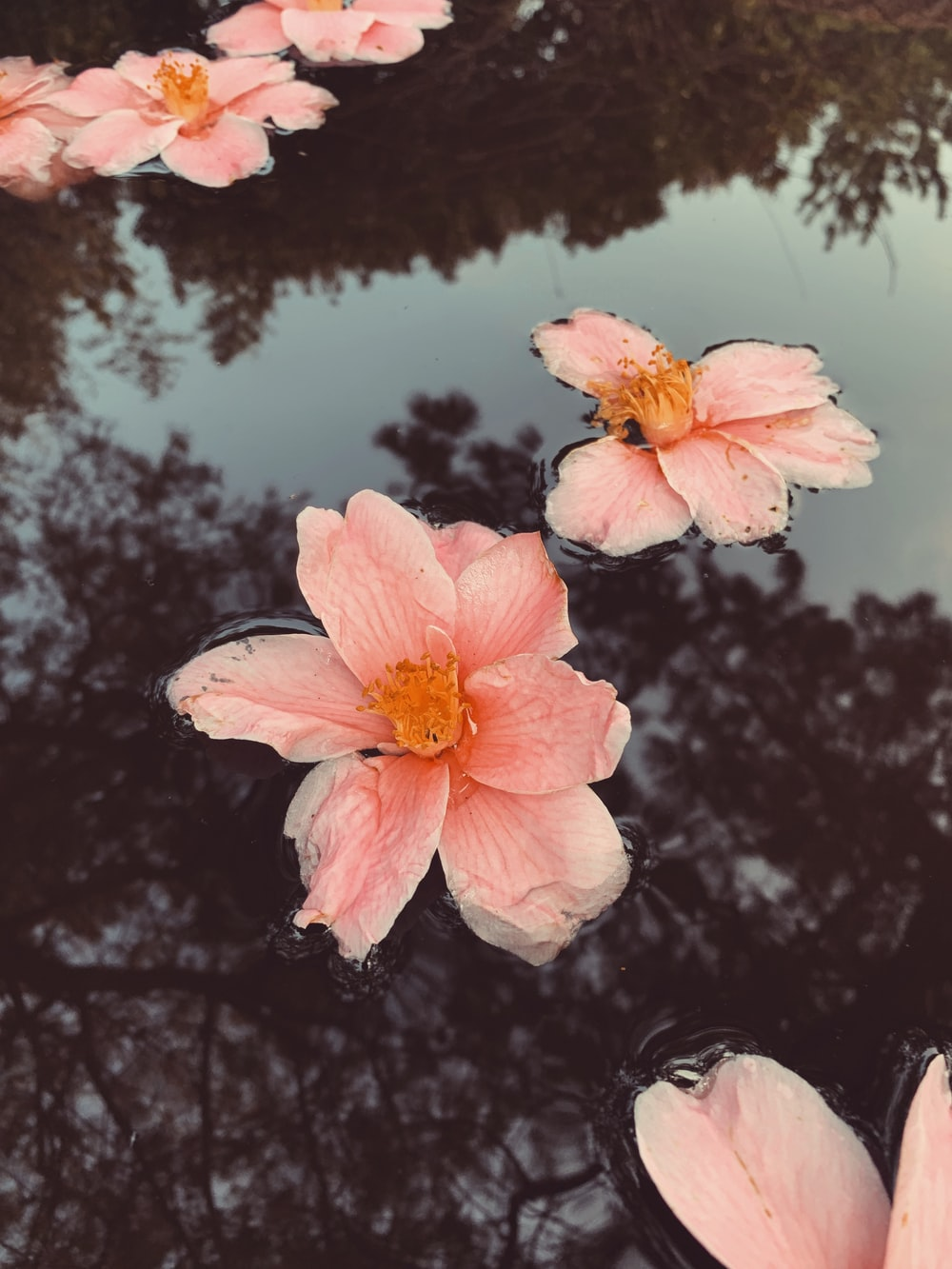 pink flowers on water