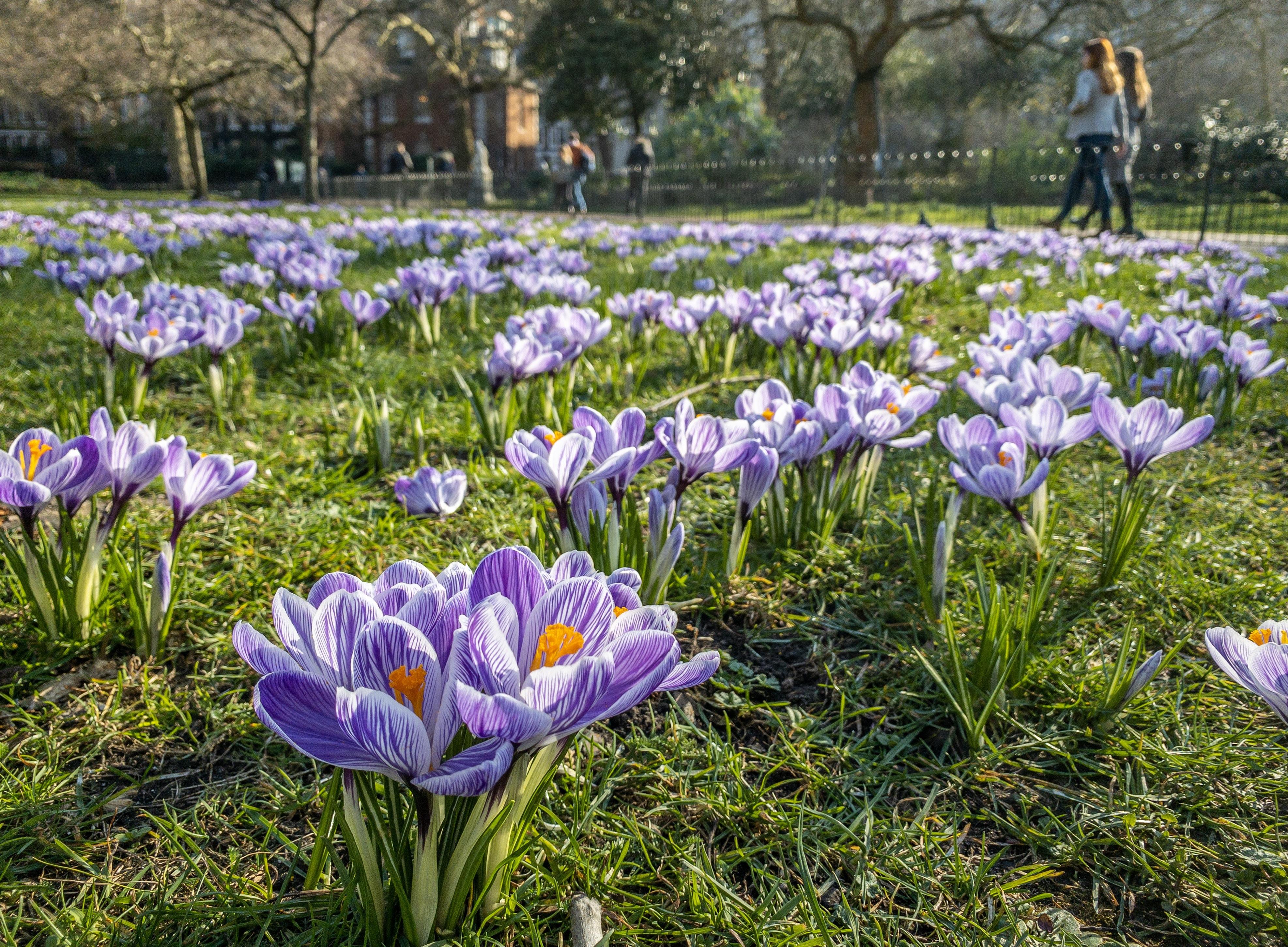 purple-petaled flower field