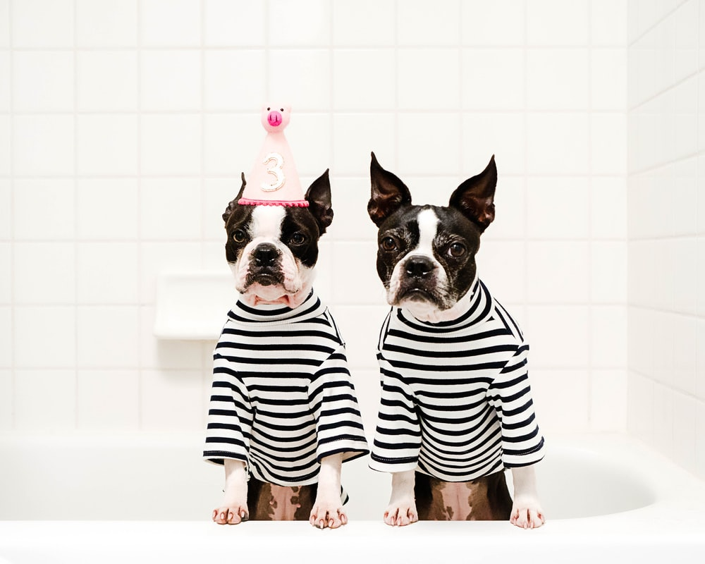 two black-and-white dogs wearing white-and-black striped shirts inside bathtub