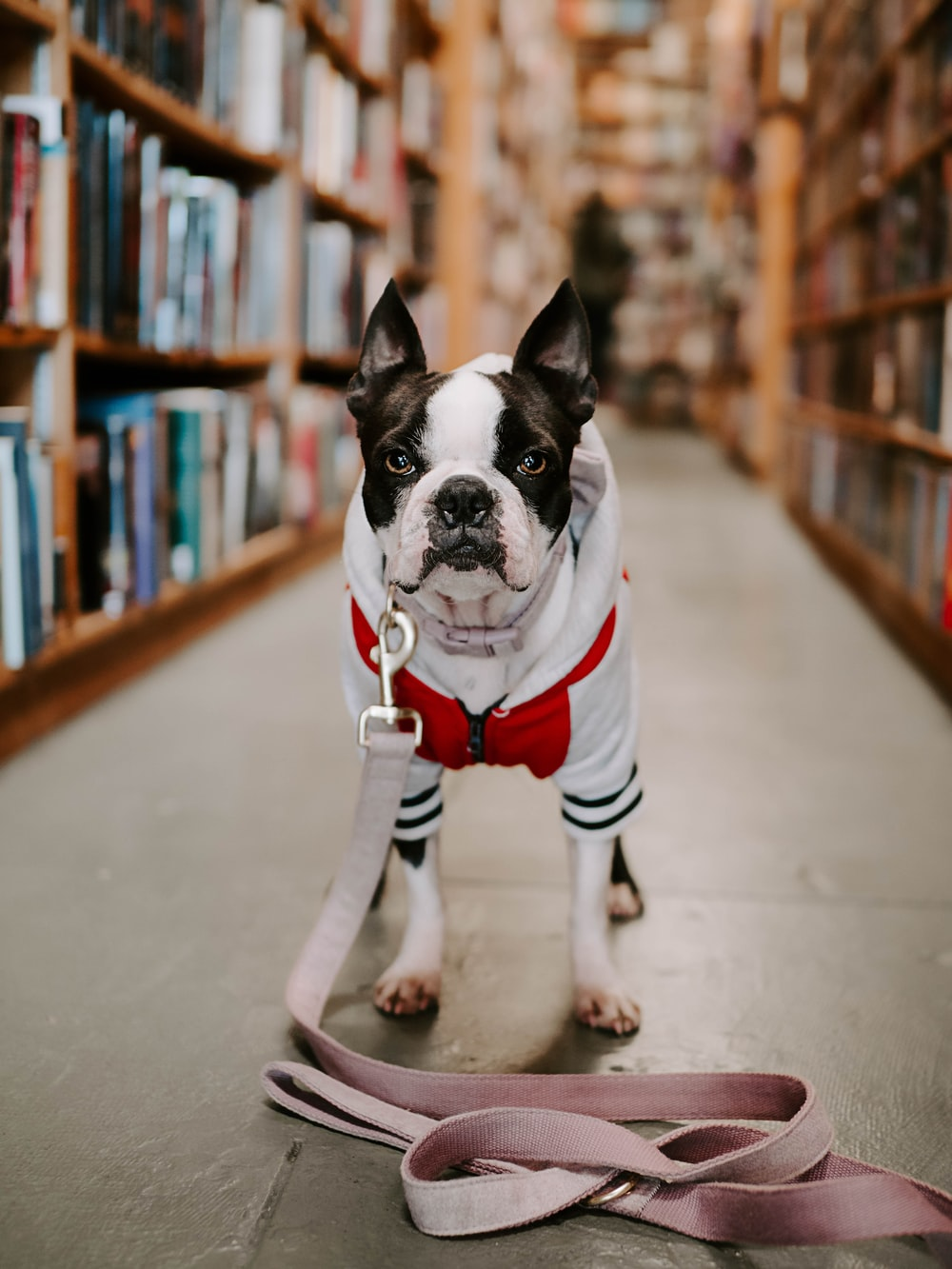 adult white and black Boston terrier standing in front of book shelf in library