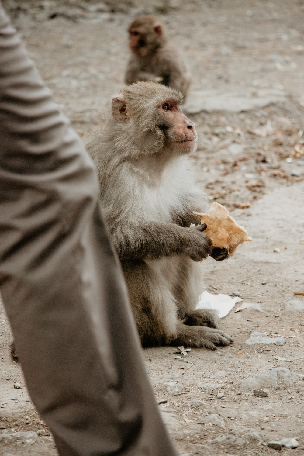 two monkeys sitting on the ground holding food