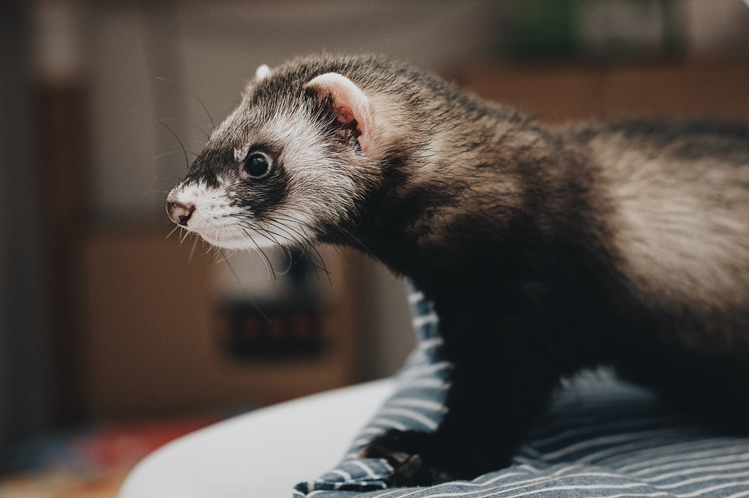 A female ferret will die if she doesn't have sex for a year.