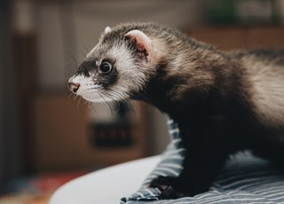 black and grey otter animal