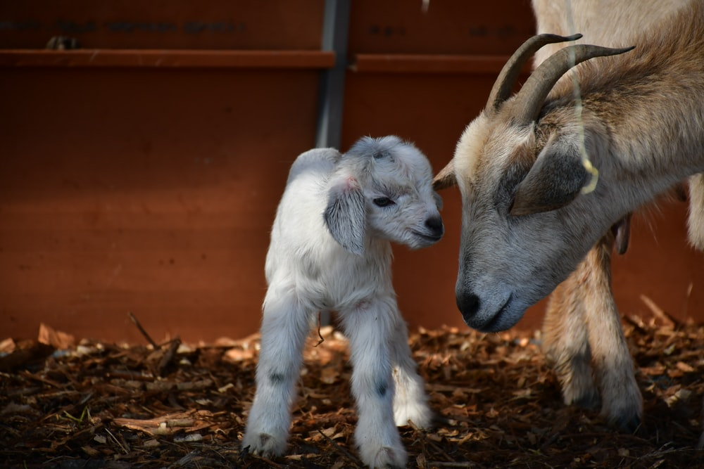Adult and baby goat in pen