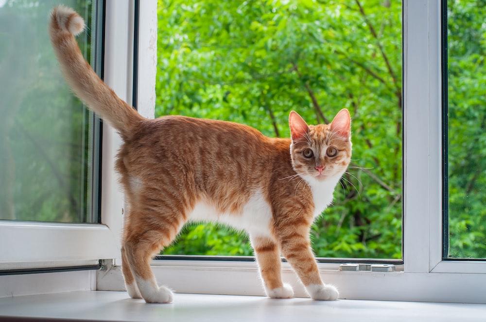 orange tabby cat standing beside open window