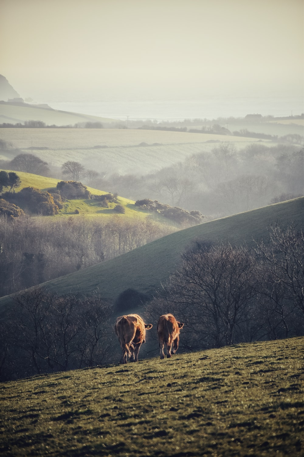 cows on green field facing hills and trees