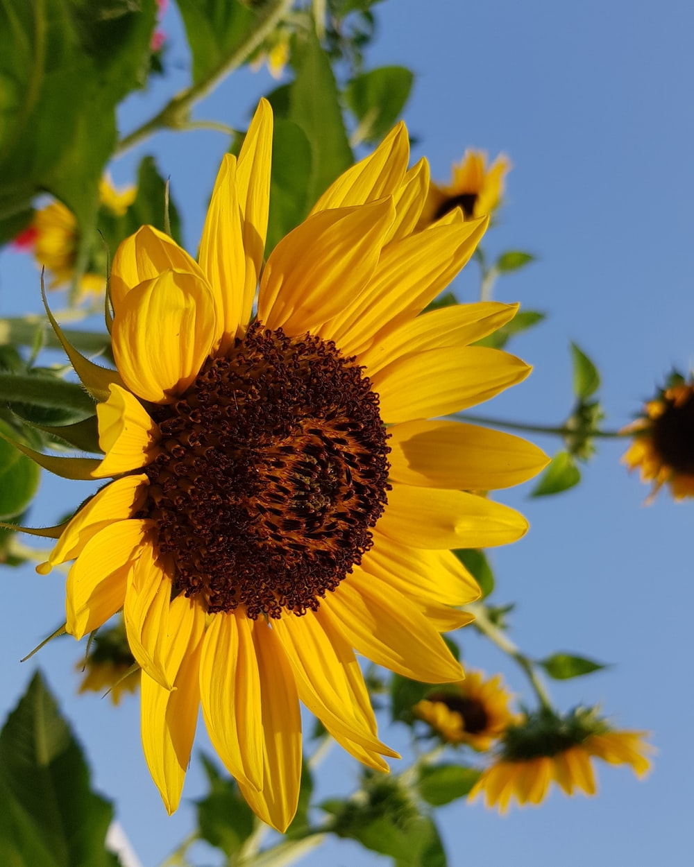 close-up photography of sunflower during daytime