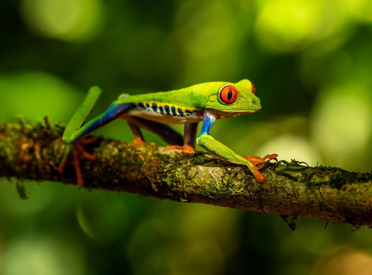 kostaryka trujace zaby