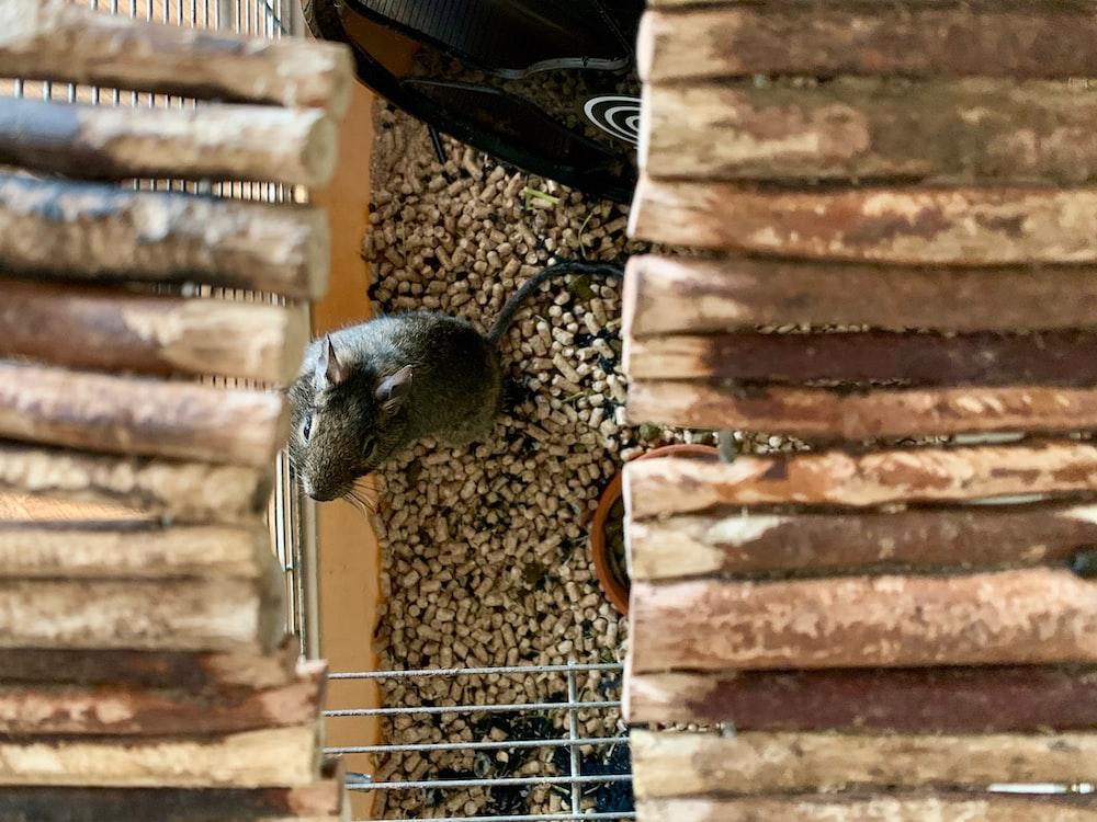 black rat on brown wooden log