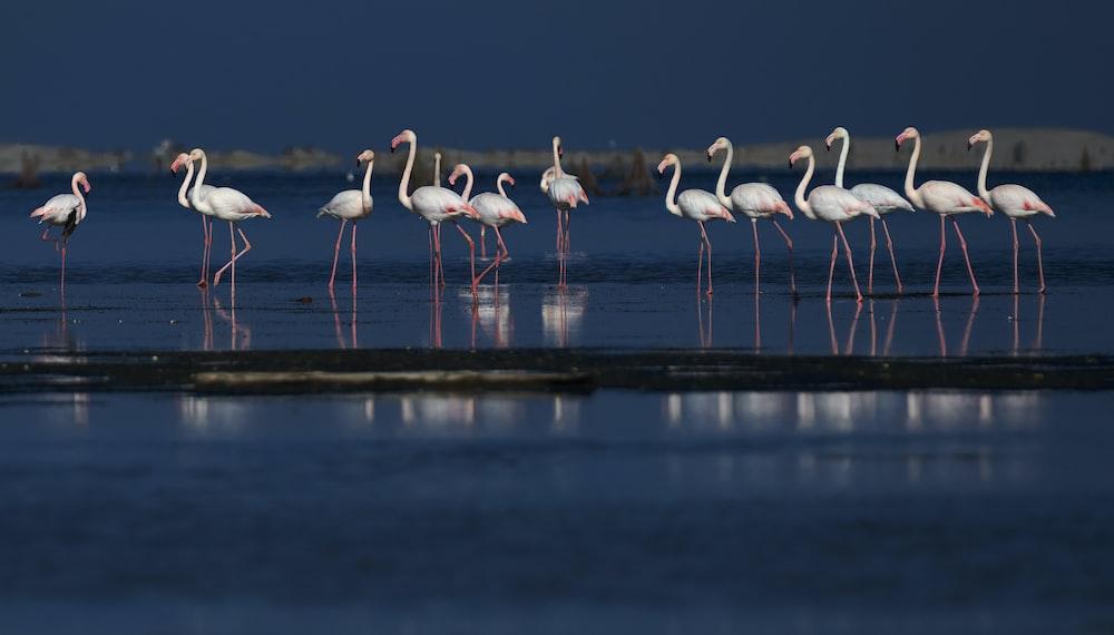 flamingos in body of water