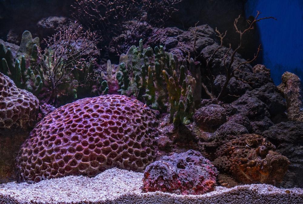 pink corals