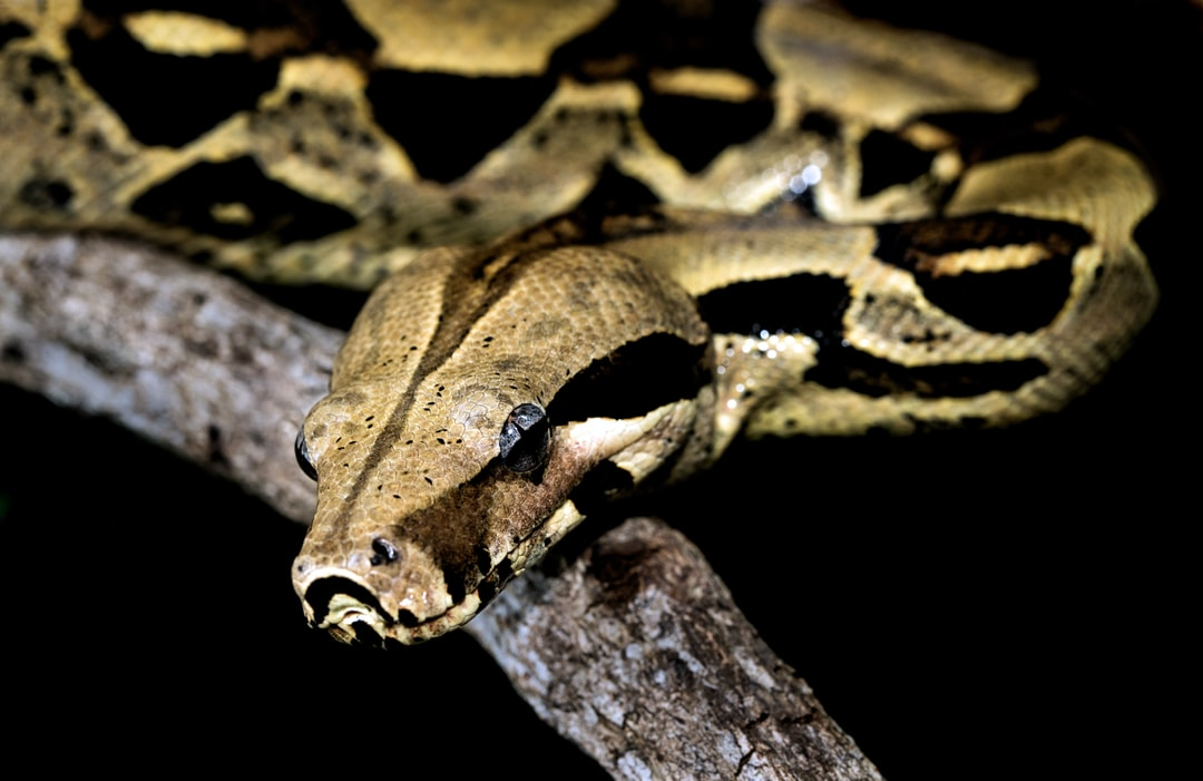 Posing Boa Constrictor showing of its beautiful pattern.